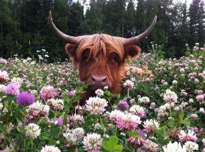 pretty bull